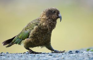 kea alpine native parrot