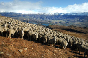 sheep in the high country